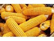 受收储政策影响 玉米价格低迷状态或将有所改观