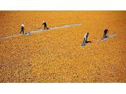 2017年粮食进口关税配额数量公布:玉米720万吨
