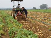 我国马铃薯主食产品有望带动农产品加工业增值3000亿