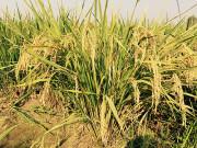 再生稻增收效率高 兼顾粮食单产和质量