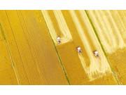 麦收季 金满地 我国第二大小麦主产区开镰