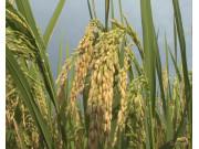 2016年早稻产量同比下降2.7%