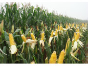 辽宁玉米生产者将获补贴 资金向玉米优势产区倾斜