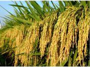 水稻杂种优势理论研究获重大突破