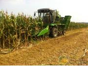安徽:玉米籽粒直收突破品种瓶颈