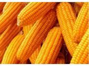 玉米价格连续上涨 分析师:价格将高位徘徊