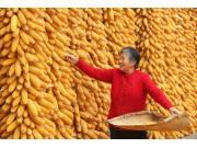 """玉米拍卖""""退烧"""" 理性补库是""""上策"""""""