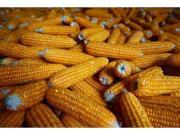 国家粮食局:暂停临储玉米和大豆竞价销售