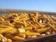 玉米库存消化路径明晰,稻谷库存消化是重点、难点