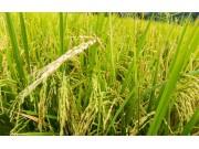 农业农村部:稻谷低收购价加生产者补贴双政策