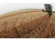 小麦优质优价特征更加明显 最低收购价首次下调