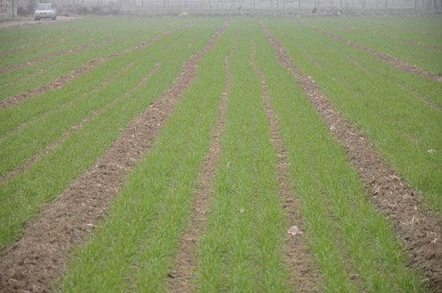 羌活露地小麦套种育苗技术