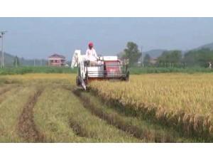 星光至尊610高效水稻收割机作业视频