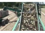 NICHOLSON公司洋葱收获设备-作业视频