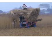 Seiga公司自走式芦苇割捆机-作业视频