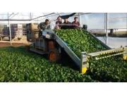 ORTOMEC公司8000系列蔬菜收获机-作业视频