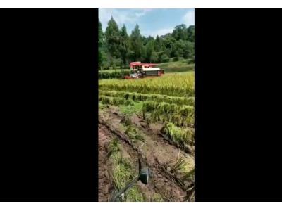 雷沃收获机水稻收割现场视频1