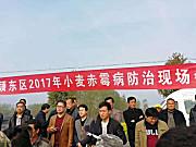 阜阳颍东:天鹰兄弟植保无人机防治小麦赤霉病