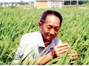 袁隆平杂交水稻又创世界纪录:高纬度亩产超1000公斤