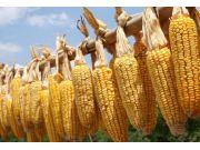 东北及华北局部地区玉米小幅上涨
