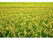 宁夏水稻耕种收综合机械化水平达95%