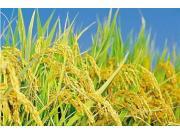 """水稻收獲機各有千秋 發展還需避免""""偏見"""""""
