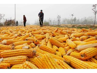 今年黑龙江玉米收储制改革成效如何?
