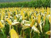"""农业部:明年继续调减""""镰刀弯""""等非优势产区玉米面积"""
