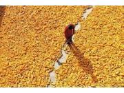 玉米直补能否成为农民的救命稻草?