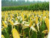玉米為何成結構調整的重點?聽聽農業部怎么說