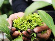 全国春茶产值首次突破千亿