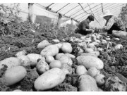 马铃薯主食开发如何快起来 重庆市有绝招