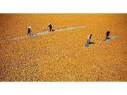 中国今年调减玉米种植面积3000万亩 13年来首次减少