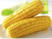 上海鲜食玉米产业创新育种再出发