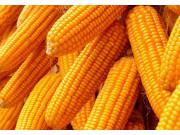 玉米价格新一轮上涨已突破1元 价格能维持多久?