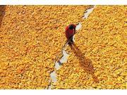新机制下,广大农民今年玉米会难卖么?