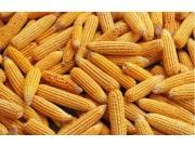探讨玉米未来的出路:今天我们怎么种玉米
