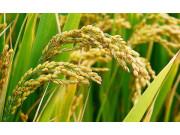 補種的水稻秋收在望——安徽災后重建紀實