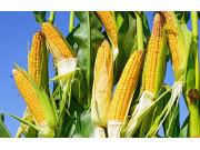 国产大豆价格上涨 调减玉米种植面积正当其时
