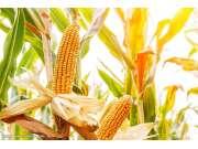 新季玉米上市 价格走势如何?