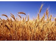 小麦最低收购价下调对短期市场不会有过大冲击