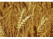 重磅!陈锡文建议明年取消主产区的麦、稻最低收购价格制度