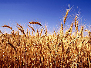 多地小麦价格上涨 后期上涨空间不大