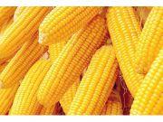 玉米价格触底反弹 预计春节后价格稳步上涨
