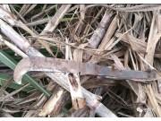 """甘蔗收獲機械化:""""越南砍刀""""能否保住最後的尊嚴?"""