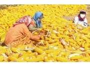 今年将完善玉米收购补贴机制
