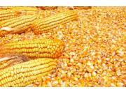 玉米种植面积调减地区种子依然销售火爆