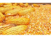 13省试点玉米保险补贴 每亩最高获赔850元!