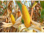 新玉米上市在即 多渠道拓销路