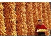 种种因素都预示:玉米要涨价了!!
